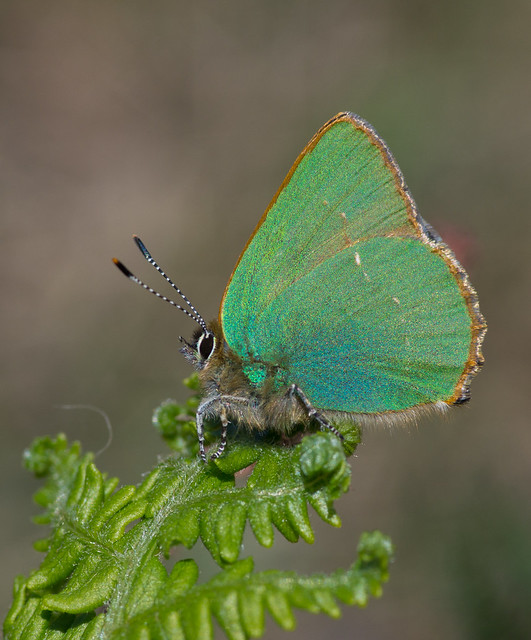 green hairstreak clean background