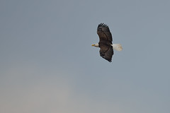 Bald Eagle DSC_1070 by Mully410 * Images