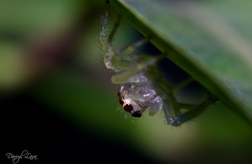 ghost jumping spider