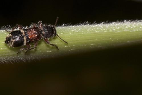 Clerid Beetle disguised as a velvet ant
