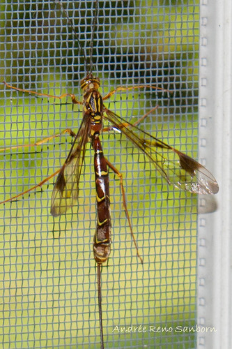 Ichneumon Wasp (Megarhyssa macrurus)-2.jpg