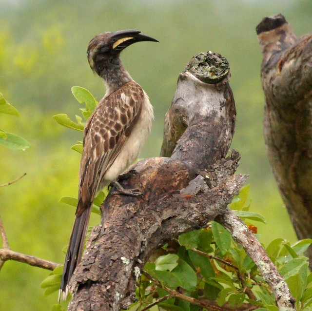 Header of African Grey Hornbill