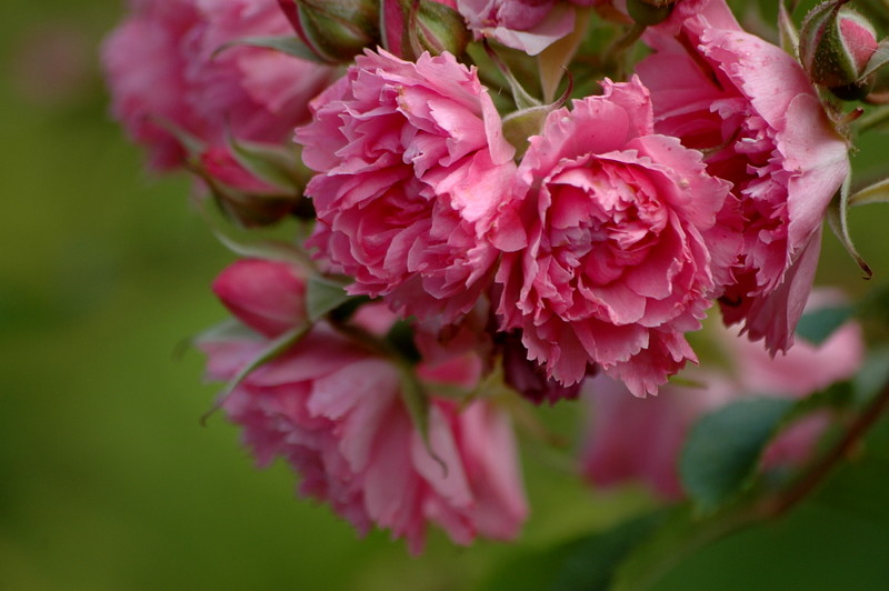 A Rose That Looks Like A Carnation Most Unusual This Ha Flickr