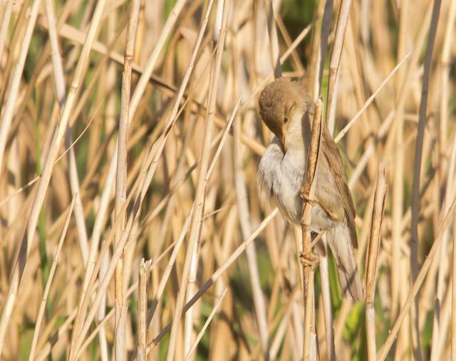 reed warbler in reeds