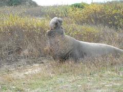 Elephant Seal5