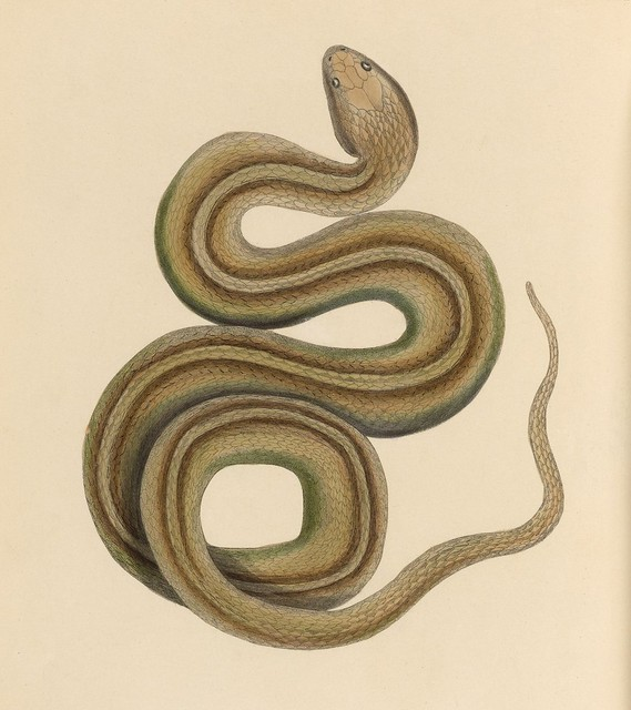1820s zoology of Captain Beechey - Snake