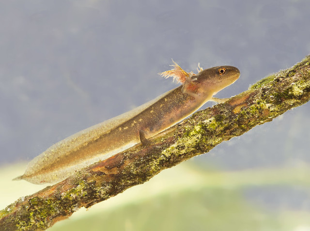 palmate newt tadpole 2 edited