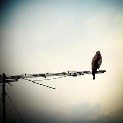 Hawk in the City
