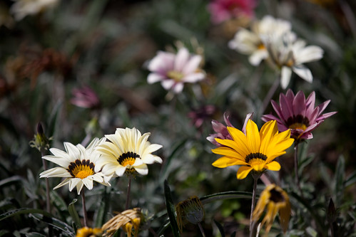 975/1000 - Gazania by Mark Carline