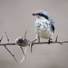 Great Grey Shrike (Lanius excubitor) by m. geven