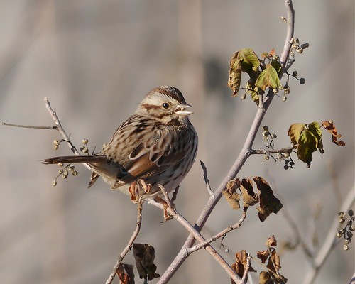 Song Sparrow Eating Poison Ivy Berries
