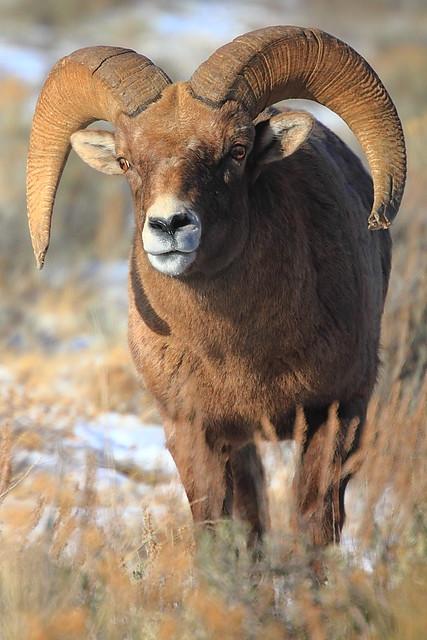 IMG_2585 Bighorn Sheep Ram, National Elk Refuge