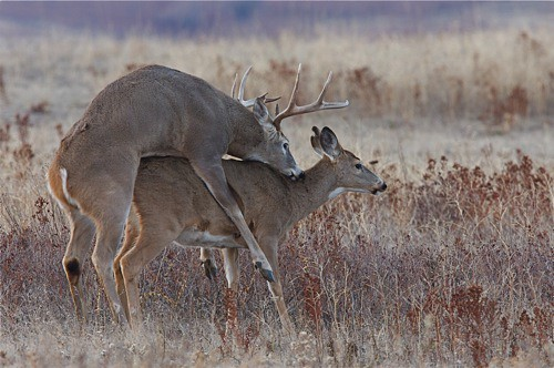 Whitetail Deer Breeding / Mating Behavior | Flickr - Photo ...