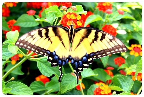 savannah butterfly