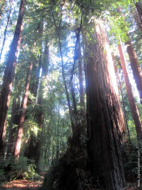 Pfeiffer Big Sur State Park, redwoods