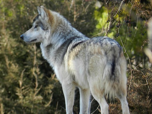 Mexican Gray Wolf by Chicago Man