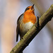 Singing Robin [Explored] by bojangles_1953
