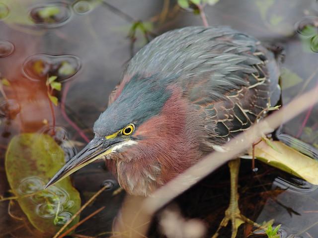 Green Heron 2-20120113
