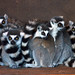 Five Lemurs