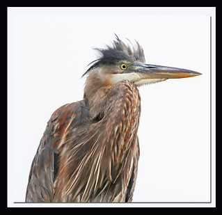 Profile: Head of a Great Blue Heron