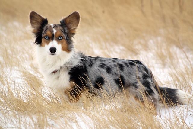 Вельш-корги-кардиган, фото породы собак фотография картинка