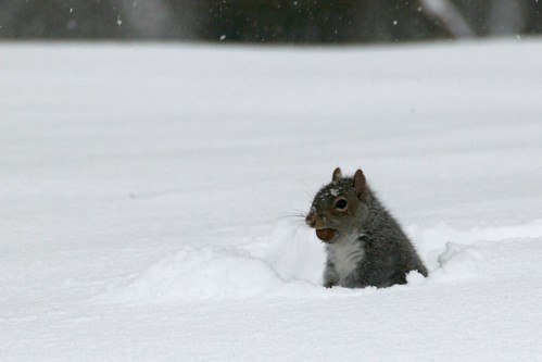 Squirrel with Nut in Snow