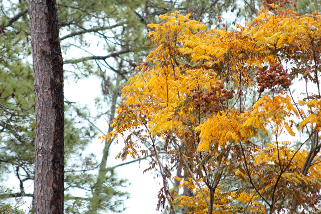 Golden Yellows