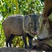 Collared Peccary - Photo (c) Bernard DUPONT, some rights reserved (CC BY-SA)