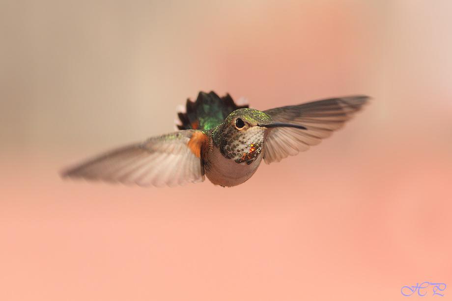 Allen's-Hummingbird012912-2