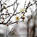 First Blossom by moaan