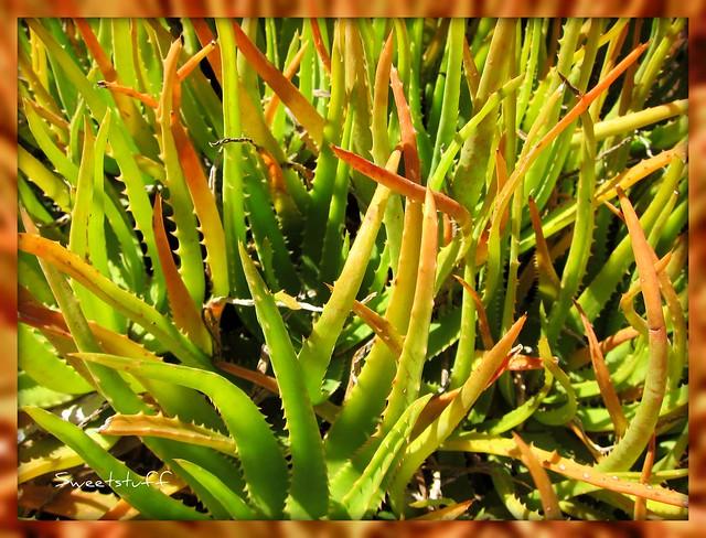 Aloe 'Tingtinkie'
