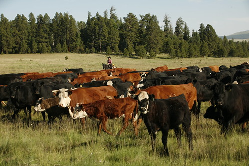 Cow herd is tended on the Apache-Sitgreaves National Forest in Arizona.  The Ranch was a recent winner of the Forest Service's Outstanding Rangeland Management External Partner Award. (Photo Credit:  Photo taken by Wink Crigler for X Diamond Ranch)