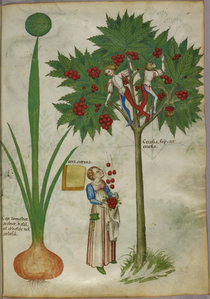 Manuscript miniature of fruit picking