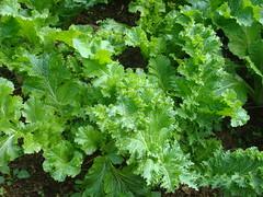 annual plant, herb, rapini,