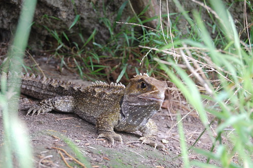 Tuatara... Ronnie spotted this guy sitting on th bank next to the path... awesome!