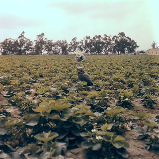 Picking strawberries, Orange County, 1950s