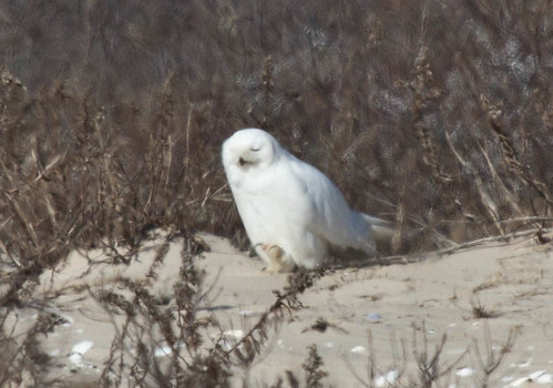 NYC Snowy Owl