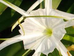 amaryllis belladonna(0.0), lily(0.0), wheel(0.0), ipomoea alba(0.0), plant stem(0.0), narcissus(0.0), flower(1.0), hymenocallis littoralis(1.0), macro photography(1.0), flora(1.0), green(1.0),