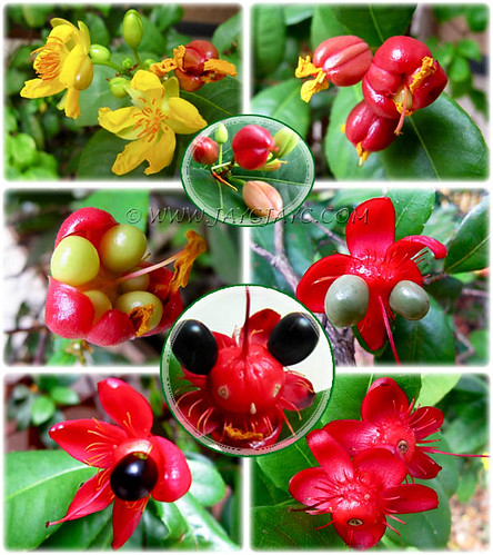 Ochna kirkii (Mickey Mouse Plant), showing its unusual flowering and fruiting sequence