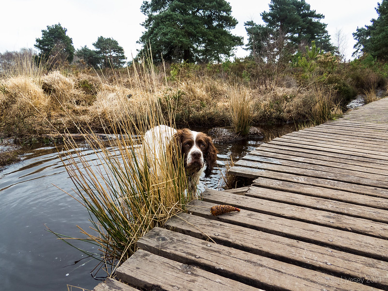 Max by the boardwalk on Upton Heath