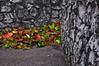 Autumn #Leaves #Rock #Wall on AAMU Campus - h931