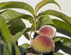 peach tree peaches fruit