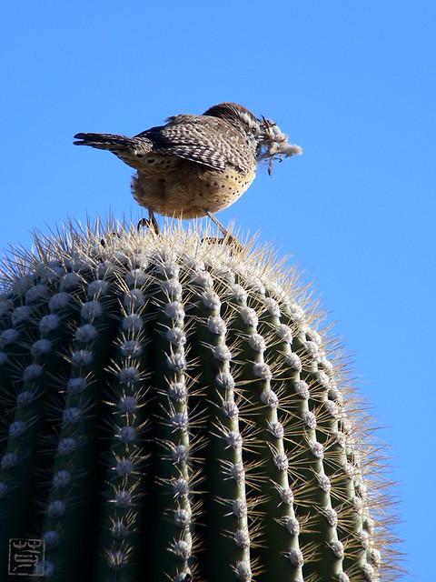 Cactus Wren, AZ, Nov 2011