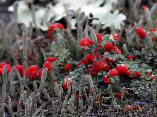 Cladonia Forest