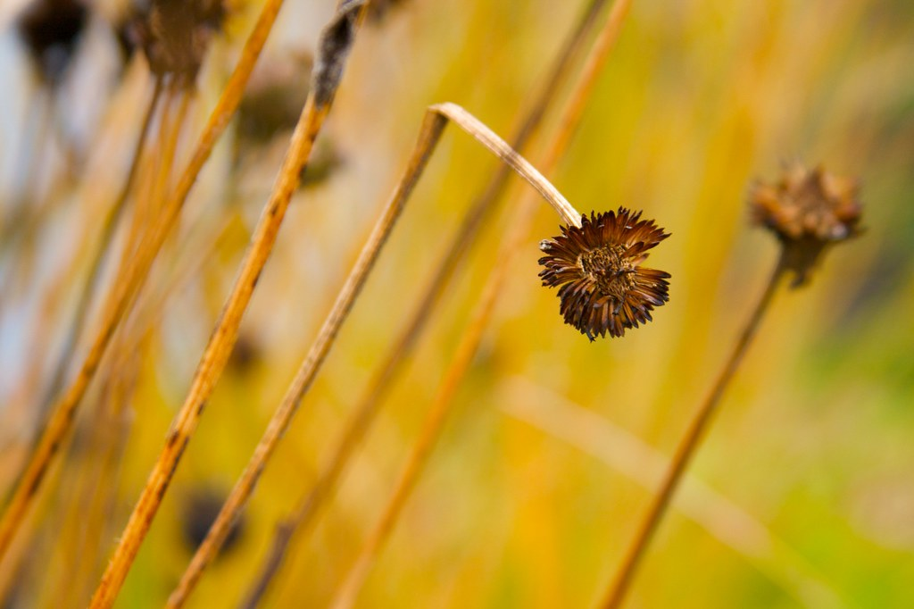 bent rudbeckia seed head  1062