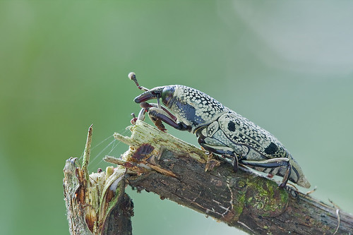 weevil IMG_0710 copy