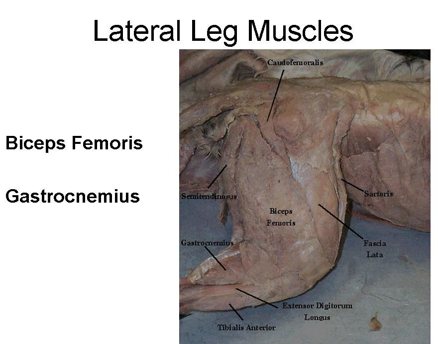 13. Lateral and Lower Leg Muscles