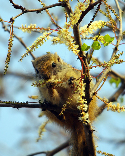 South African Squirrel by masaiwarrior