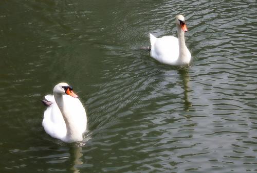 Swans by sagtran