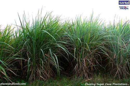 chuping sugar cane plantation3